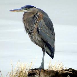 GREAT BLUE by Cynthia Dodd - Novices Only Wildlife ( bird, animals, winter, nature, blue, ice, wildlife, heron, birds )