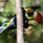 Araçari-poca (Spot-billed Toucanet) - Male