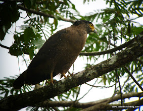 Photo: Crested Serpent-Eagle, Danum Valley