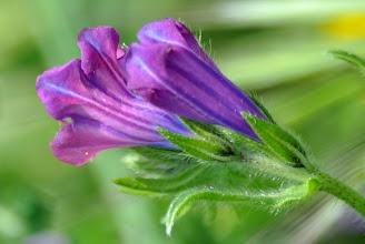 Photo: Echium plantagineum L. (Boraginaceae)