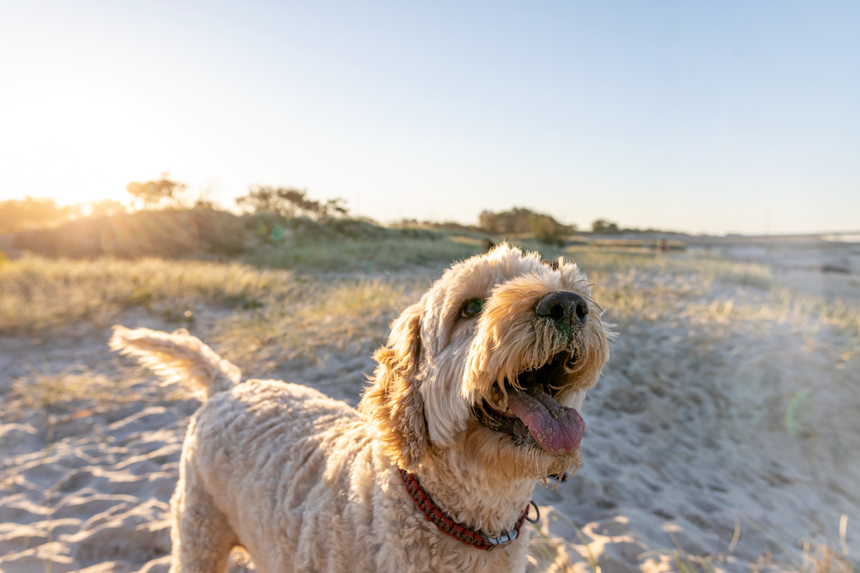 Labradoodle panting on a beach
