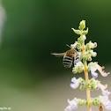 Amegilla sp. 無墊蜂