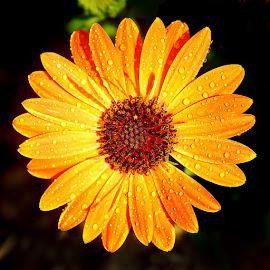 Souci by Gérard CHATENET - Flowers Single Flower
