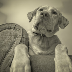Lookin' Up at Riley by Lorella Johnson - Animals - Dogs Portraits ( couch, above, yellow, dog, lab )