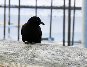 Photo: Northwestern Crow, Homer harbor