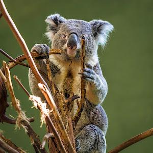 koala-2.jpg