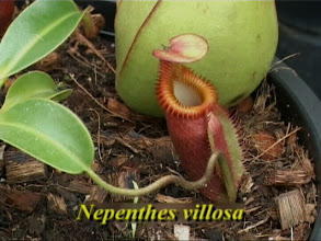 Photo: Nepenthes villosa. Video image: S. Hartmeyer
