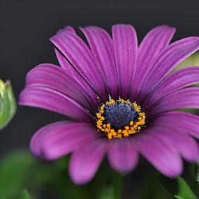 flower with a little flower bud by Paul Wante - Flowers Single Flower ( macro, purple, bud, photography, flower,  )