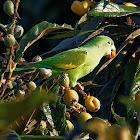Periquito-de-encontro-amarelo (Yellow-chevroned Parakeet)
