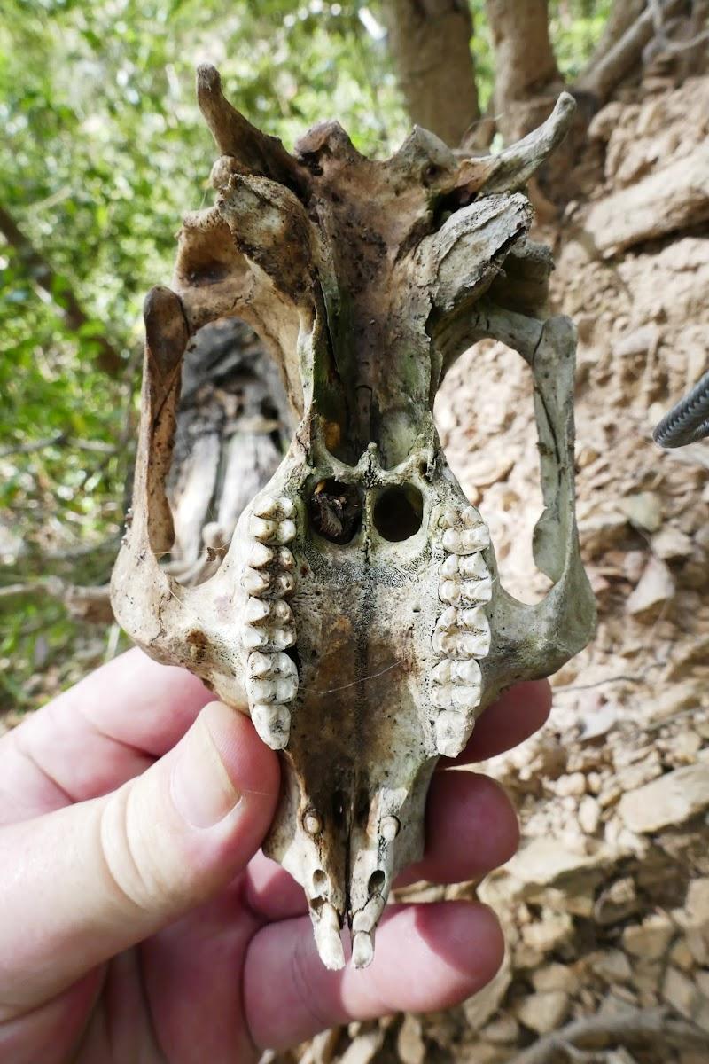 Koala (skull)