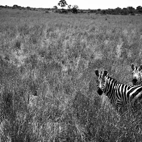 Blending In by Ravi Patel - Animals Other Mammals ( black and white, zebra )