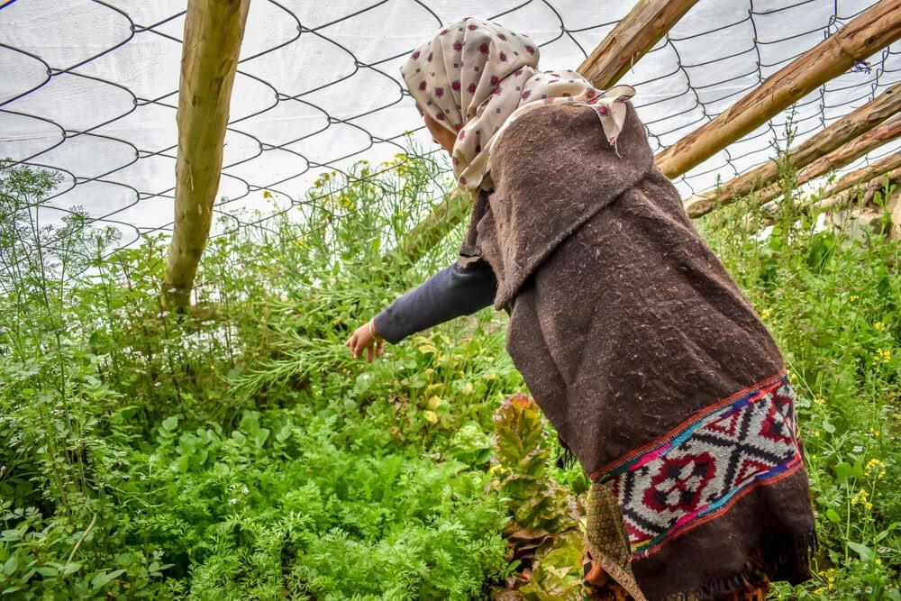 spitian+woman+greenhouse+chicham+village+spiti+himalayas
