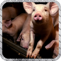Little Pig Pack 2 Wallpaper icon