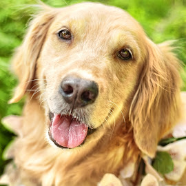 Basha by Che Vienes - Animals - Dogs Portraits ( golden retriever, dogs, dog, dog portrait,  )