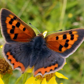 Small Copper by Cliff Oakley - Animals Insects & Spiders ( countryside, england, nature, butterflies, wildlife, insects )