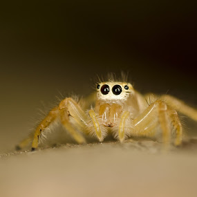 Spider by Biswajit Chatterjee - Animals Insects & Spiders ( insect macro, spider macro, spider, insect )