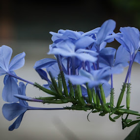 Violet by Wohvener Amada - Flowers Flower Gardens ( flower garden, violet )