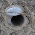Trapdoor Spider Nest
