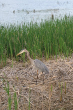 Photo: Great Blue Heron, 5.14