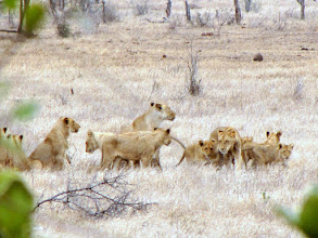 Photo: Kruger NP - lionesses with cubs
