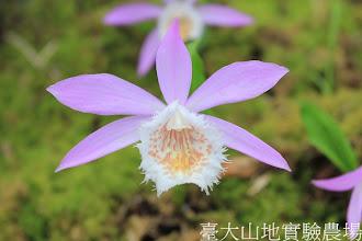 Photo: 拍攝地點: 梅峰-一葉蘭展示室 拍攝植物: 臺灣一葉蘭 楓星 拍攝日期:2012_04_01_FY
