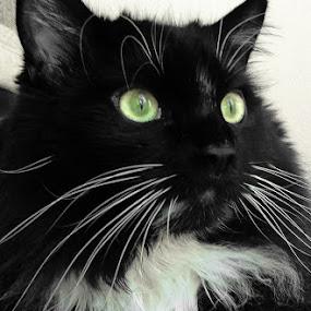saki by Serenity Deliz - Animals - Cats Portraits ( cat, gazing, kitty, posing, starring )
