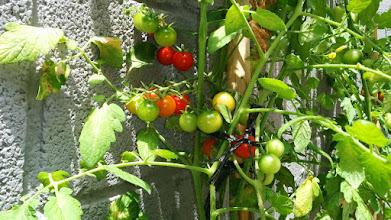 Photo: Tomate cherry - Tomaca cherry