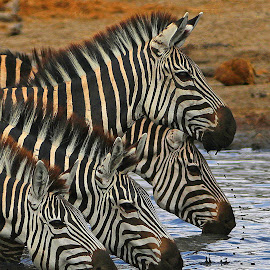 Thirst Quencher! by Anthony Goldman - Animals Other Mammals ( drinking, nature, east africa, mammal.zebra, animals, water, wild, tanznia, wildlife,  )