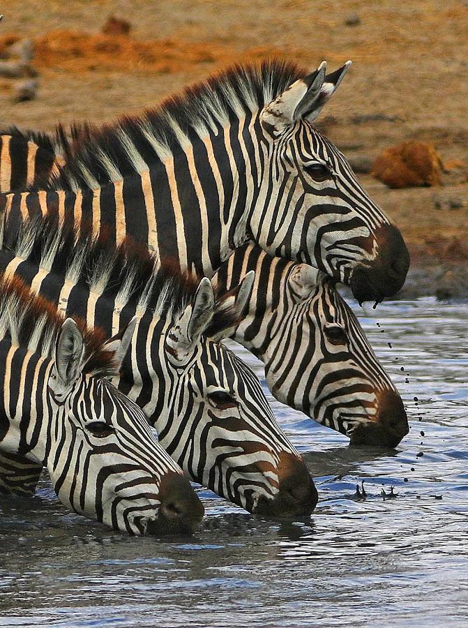 Thirst Quencher! by Anthony Goldman - Animals Other Mammals ( drinking, nature, east africa, mammal.zebra, animals, water, wild, tanznia, wildlife,  )