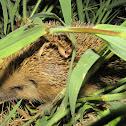 European hedgehog,Ouriço Cacheiro