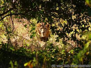 Photo: Tak to je první volně běhající lev, kterého naše oko spatřilo v parku Mana Pools / This is the first Lion which cross aour way on game drive in Mana Pools