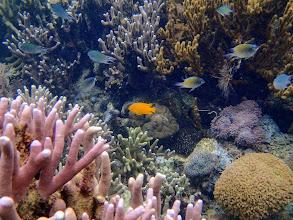 Photo: Pomacentrus moluccensis (Lemon Damselfish), Lusong Island, Coral Garden Reef, Palawan, Philippines.
