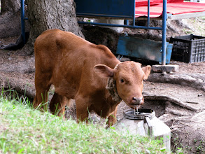 Photo: While this lucky calf found someone's water bucket!