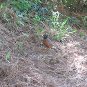 American robin, morning dove, blue jay, house finch and a cardinal