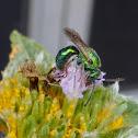 Pure Green Augochlora