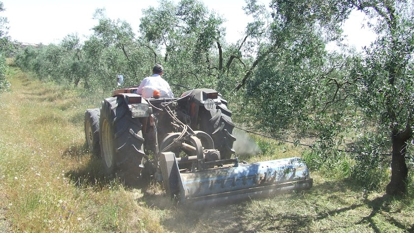 El olivar es uno de los cultivos con más hectáreas en ecológico
