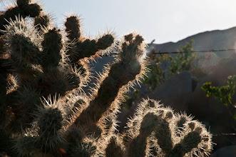 Photo: Cholla cactus
