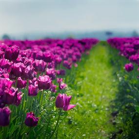 Pretty Purple by Jenny Hammer - Flowers Flower Gardens ( spring, pretty, flowers, tulips, purple, garden )