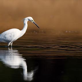 A little egret by Peter Kostov - Animals Birds ( egret, pond, reflection, nature, fauna, littleegret, bird, animal, lake, life, wildlife )