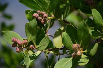 Photo: Florida Conocarpus erectus
