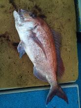 Photo: 船頭さんもガンバって「竿」出してます! ナイスサイズの真鯛「とったどー!」