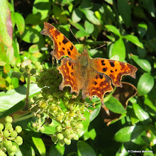 Photo: Comma on Ivy flowers