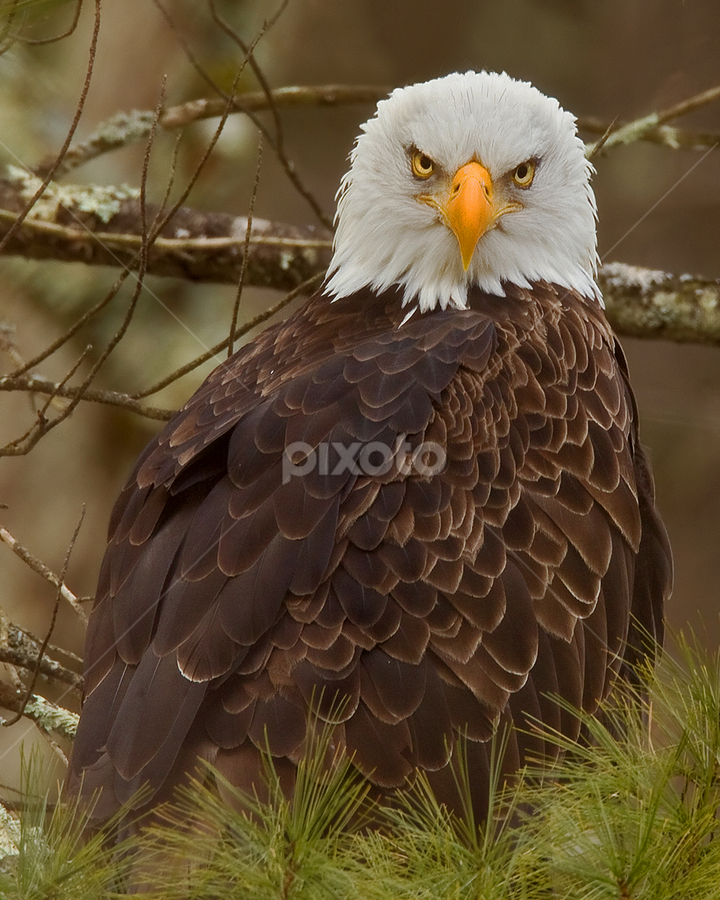 Bald Eagle by Herb Houghton - Animals Birds