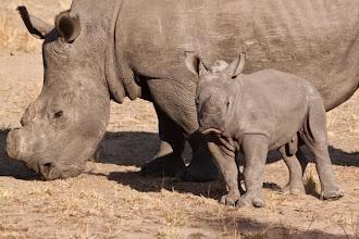 Photo: Baby white rhino in private game reserve / Malý bílý nosorožec v soukromé přírodní rezervaci