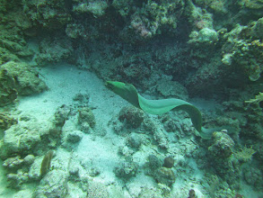 Photo: Green Moray Eel