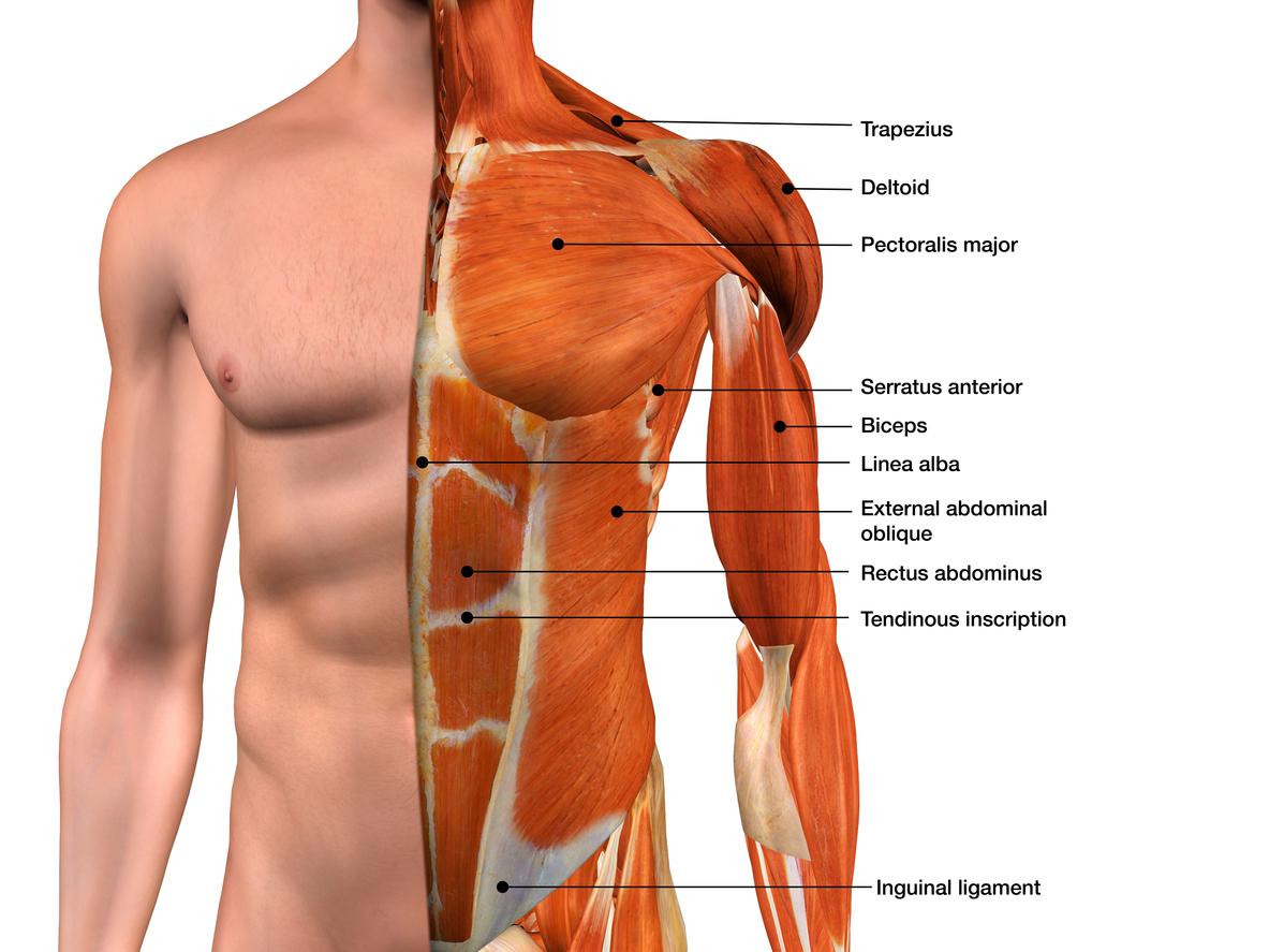 Anatómia hrudného svalstva