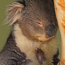 Kaola Bear by Anthony Goldman - Animals Other Mammals ( tasmania, mammal, nature, bear, kaola, wildlife,  )