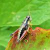 Cascade Timberline Grasshopper