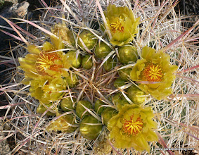 Photo: Barrel cactus blossoms; Anza Borrego Desert State Park