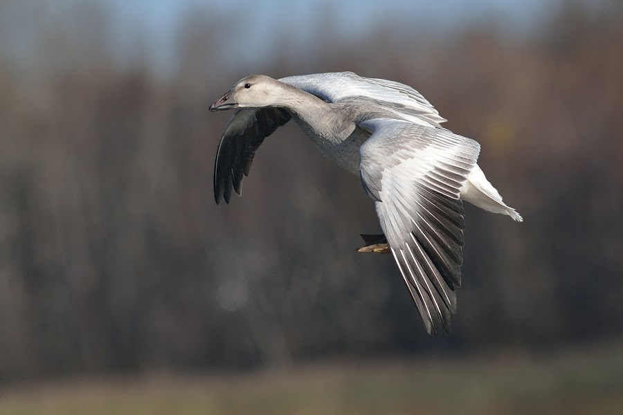 snow goose by Dominic Roy - Animals Birds (  )